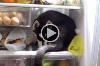 Cadela husky entra em geladeira e acha que é sua nova casa