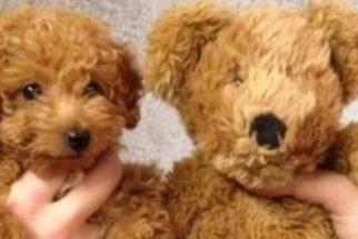 Cães adoráveis que se parecem com animais de pelúcia