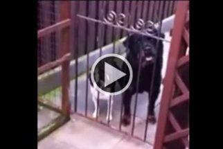 Cãozinho arranca gargalhadas ao 'falar' a palavra 'hello'