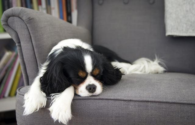 Como ensinar o cachorro a não subir no sofá