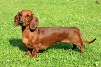 6 raças de cães que possuem 'super poderes'