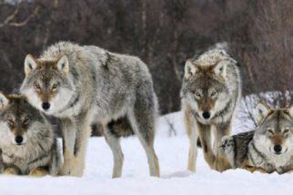 Confira belíssimas fotos de lobos selvagens