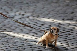 Saiba como escolher o melhor tipo de coleira para seu cachorro
