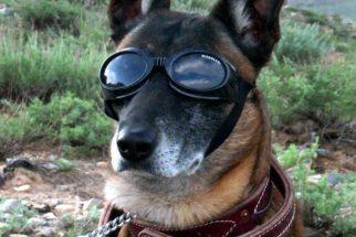 Você sabia que existem óculos para cachorros?