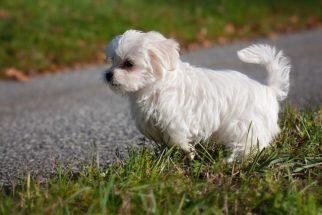 30 ideias de nomes perfeitos para cachorros maltês
