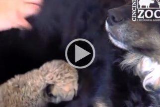 Cachorro adota cinco filhotes órfãos de guepardo