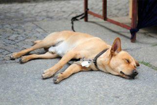 Saiba como agir se seu cão desmaiar