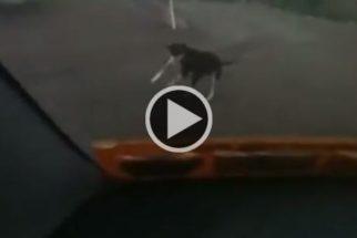 Cão tem reação hilária ao ver chegada de tutora em casa