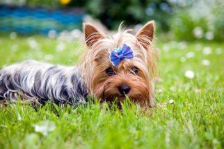 Confira 30 nomes ideais para cães yorkshire
