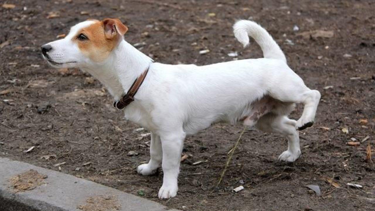 Resultado de imagem para cachorro fazendo xixi