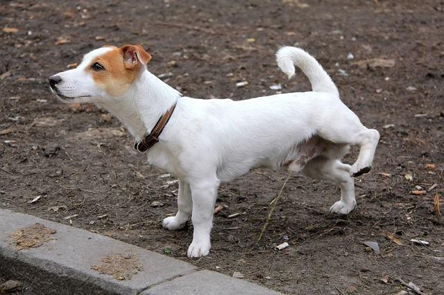 Como ensinar o cachorro a não fazer xixi no tapete da casa