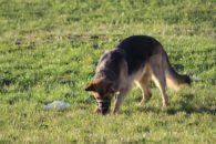 Saiba como evitar que seu cão coma coisas do chão