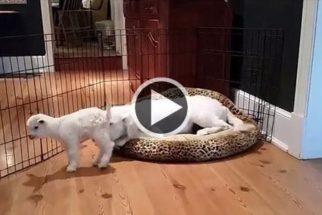 Fofura: cão se surpreende ao encontrar filhote de ovelha dentro de casa