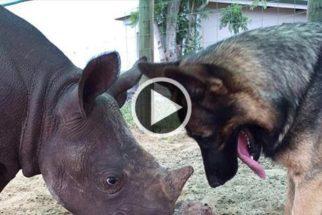 Cão 'oferece' seu brinquedo favorito para filhote de rinoceronte