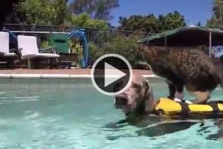 O cão e gato que são parceiros na hora de um bom banho de piscina