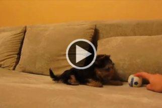 Hilário: filhote tem reação engraçada ao brincar com bolinha