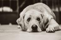 O que são manchas de lágrimas em cães?