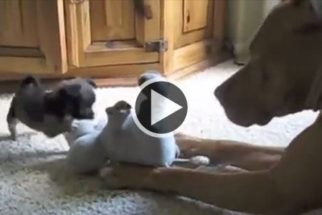 Paciente, cadela pit bull tenta ensinar filhote a brincar
