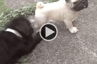 Pug fica nervoso ao tentar interagir com estátua canina