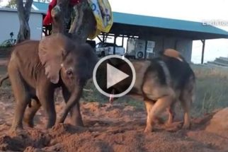 Rejeitada por bando, filhote de elefante faz incrível amizade com cão