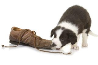 Por qual razão os cães gostam de morder sapatos?