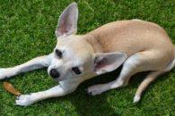 Conheça as raças de cachorros mais carentes do mundo
