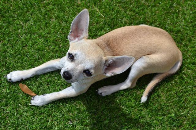 conheca-as-racas-de-cachorros-mais-carente chihuahua