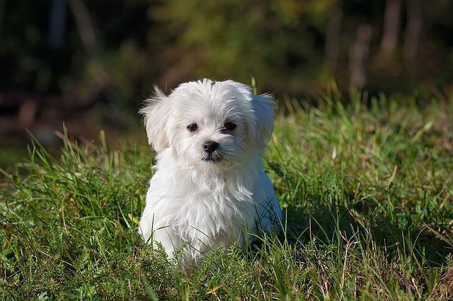 conheca-as-racas-de-cachorros-mais-carentes maltes