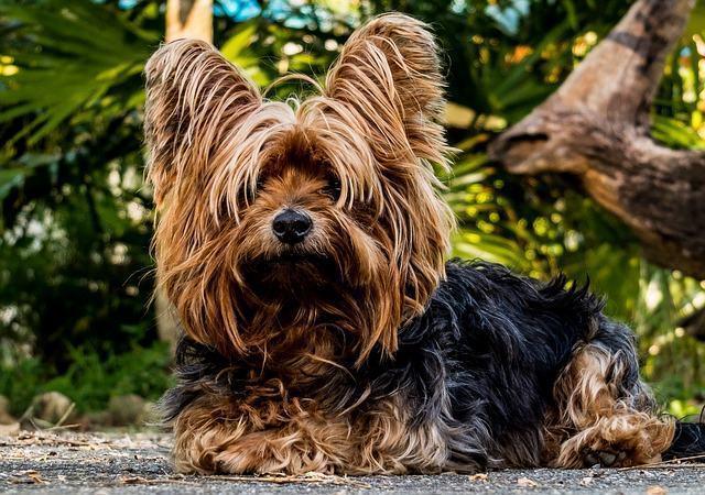 conheca-as-racas-de-cachorros-mais-carentes yorkshire