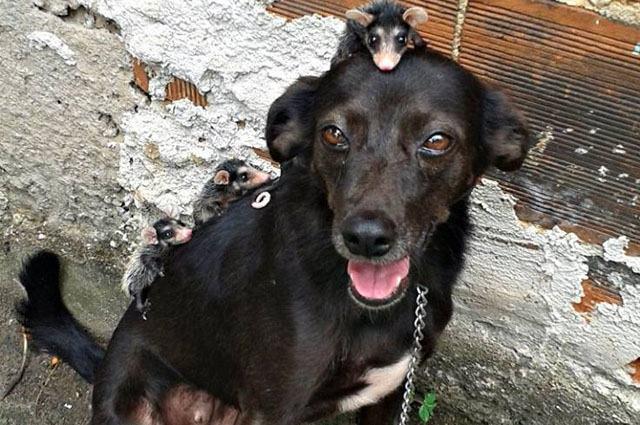 Conheça pretinha, a cadela que adotou sete filhotes de gambá