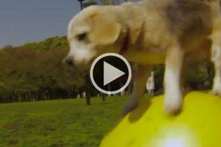 Conheça Purin, a cadelinha com dois recordes mundiais