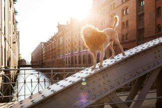 Encontrado na rua, cão vira modelo 'leão' em ensaio fotográfico