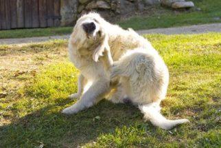 Extermine pulgas e carrapatos do seu cachorro usando limão