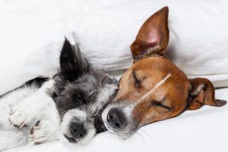 Entenda sobre as relações homossexuais entre cachorros