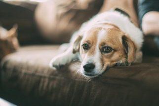 Pesquisa comprova que cães se fazem de 'coitadinhos' quando repreendidos