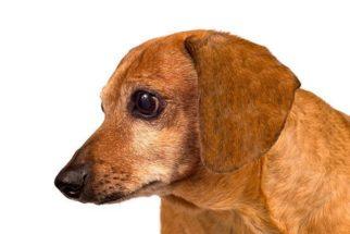 Ouvido do cachorro sangrando: o que pode ser?