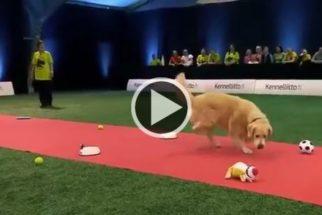 Para rir: cão ignora prova competitiva e prefere brincar com objetos