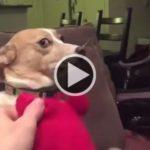 Hilário: cadela 'apronta' e não consegue esconder de tutor 'deslize' cometido