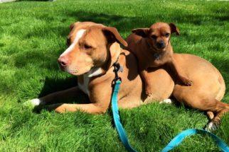 Pit bull leal se recusa a deixar abrigo sem levar o melhor amigo canino