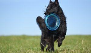 as-10-racas-de-cachorros-que-adoram-correr-belga