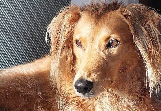 as-10-racas-de-cachorros-que-adoram-correr-saluki