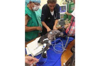 Cadela com problema cardíaco recebe implante de marca-passo humano