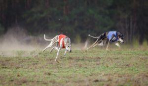 Coursing, passion and speed. Hortaya borzaya dogs running track in a muzzle on the field. sunny day