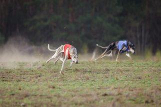 Descubra as espécies de cães mais atletas
