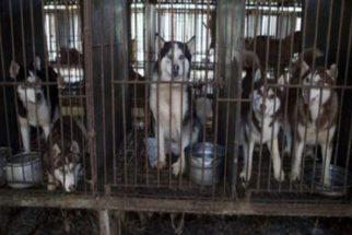 200 cães são salvos de fazenda de abate de carne canina na Coreia do Sul