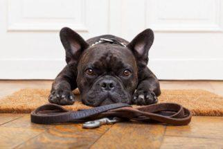 Ensinando o cachorro a deitar de forma correta e sem complicação
