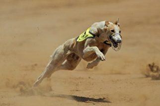 Corridas de cães estão sendo cada vez mais extintas nos EUA