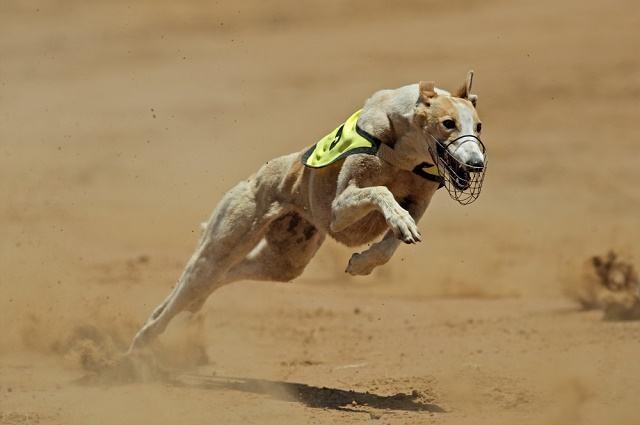 Imagem de cão greyhound em corrida