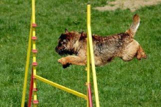 Educação canina: primeiro exercite o pet, depois adestre-o