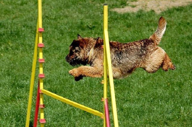 Imagem de cão saltando obstáculo